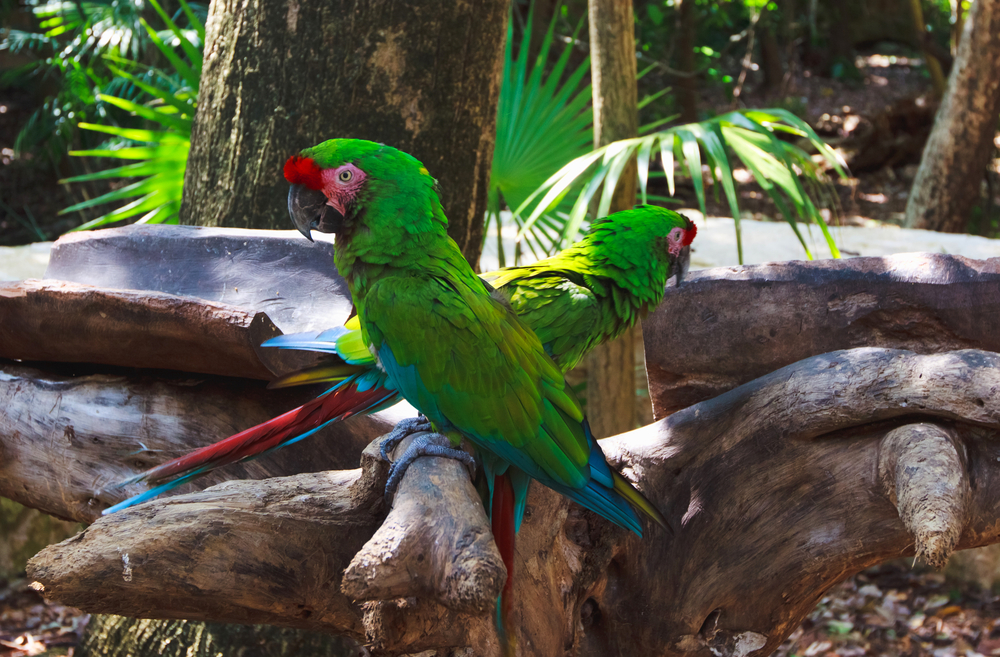 Cancun-green-parrots-macaws-at-Xcaret-park.jpg