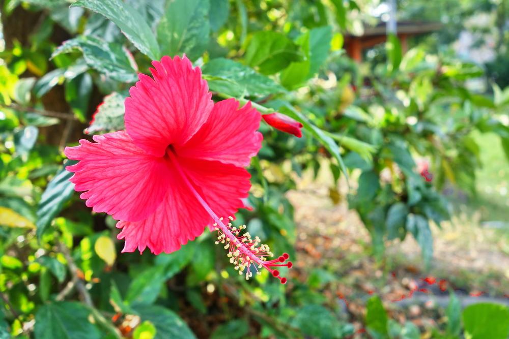 Haiti-national-flower-red-hibiscus.jpg