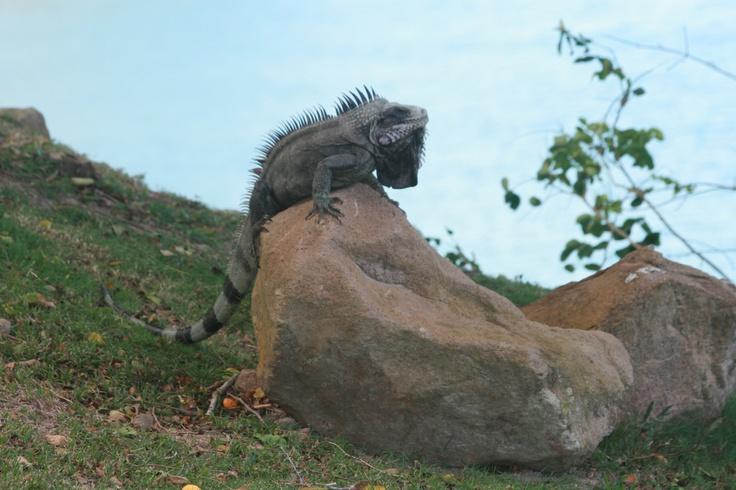 Montserrat-iguana.jpg