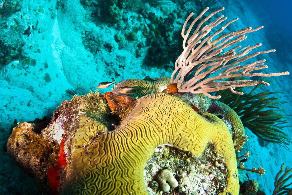 St-Barth-Box-fish-with-brain-coral.jpg