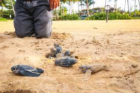 sea-turtles-nestl-puerto-rico.jpeg