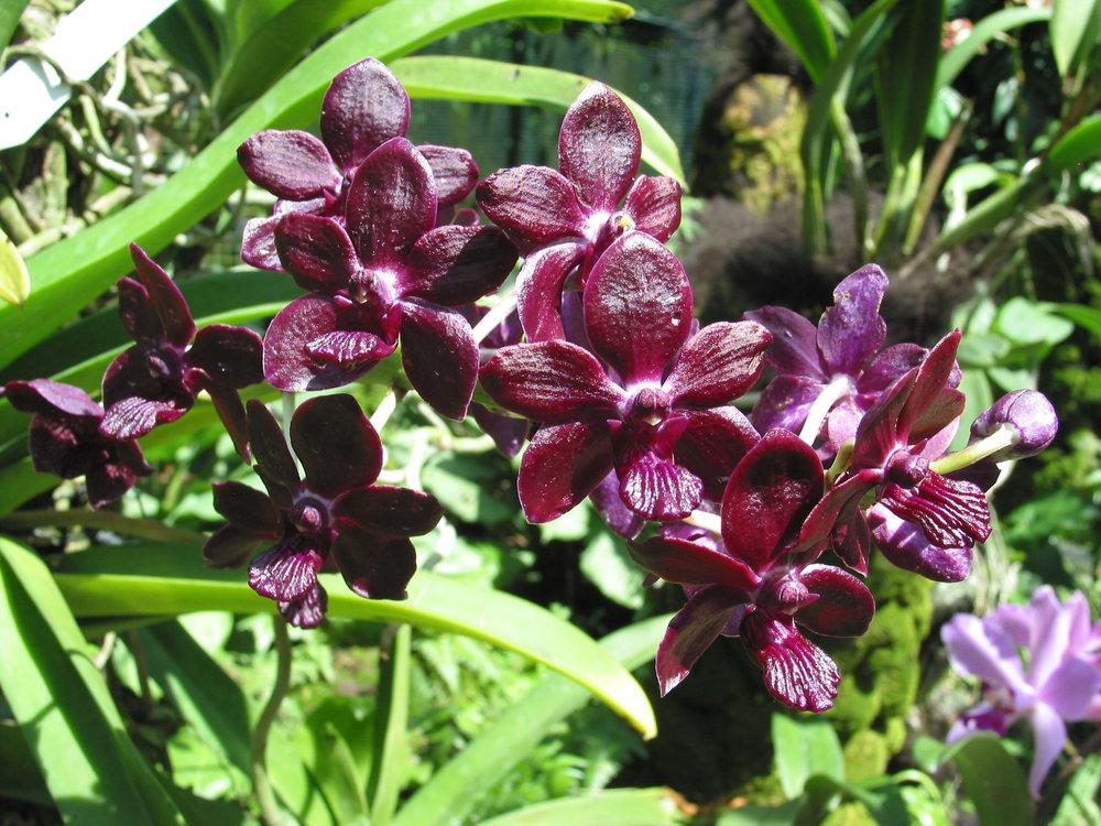 Dendrobium malaysia hybrid.JPG