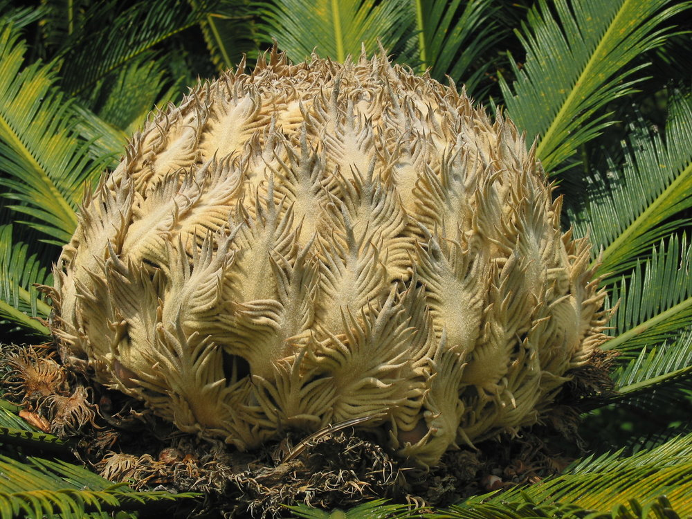 Cycad female cone.JPG