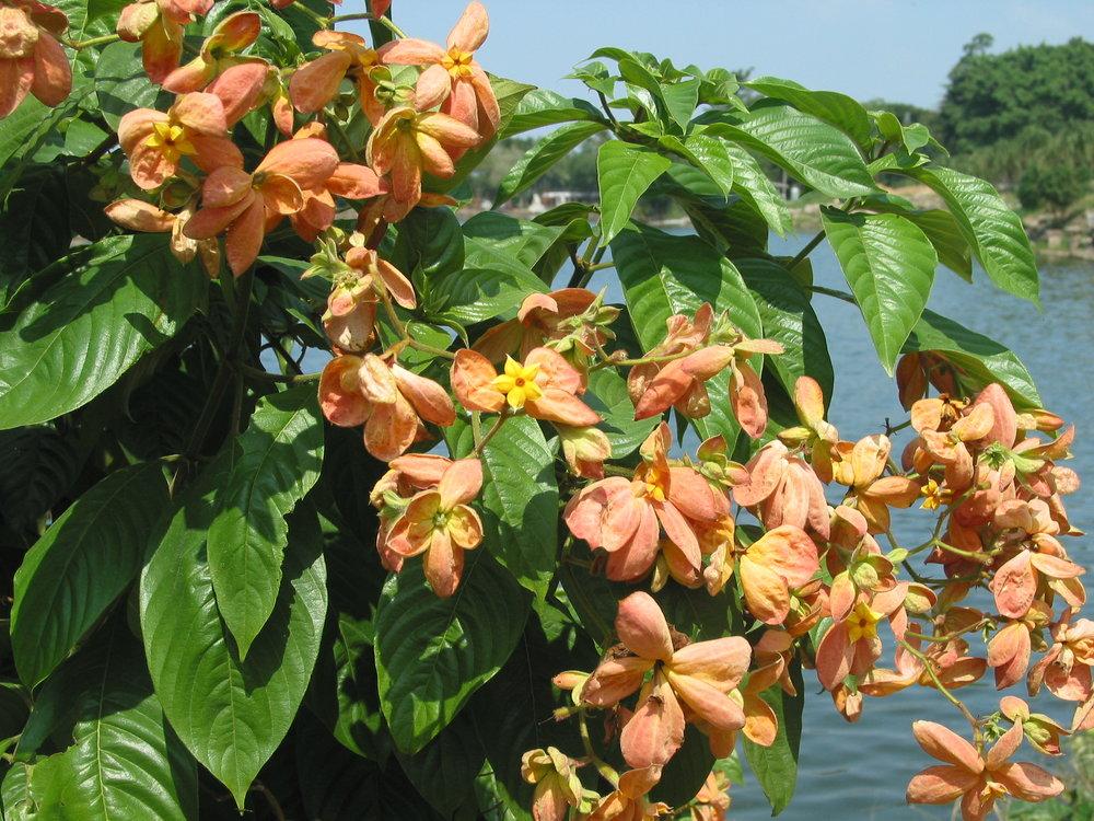 Mussaenda erythrophylla.JPG
