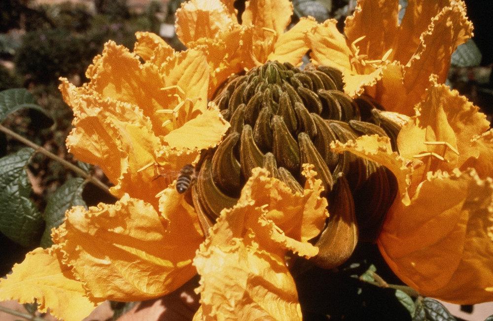 Spathodea campanulata from Africa.JPG