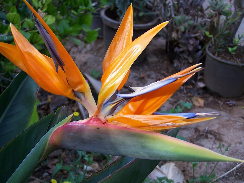 Bird of Paradise from South Africa.jpg