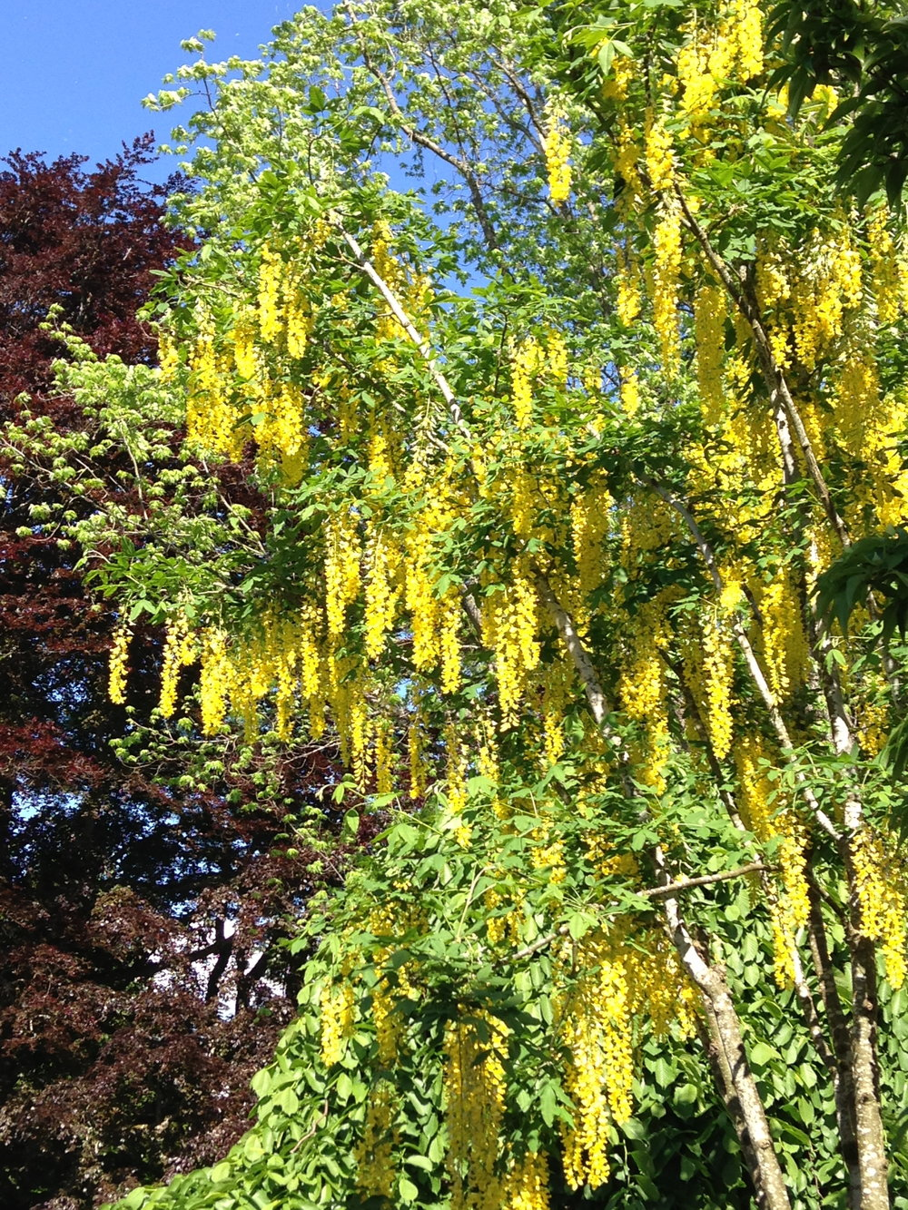 Waterer laburnum - Goldenchain tree.JPG