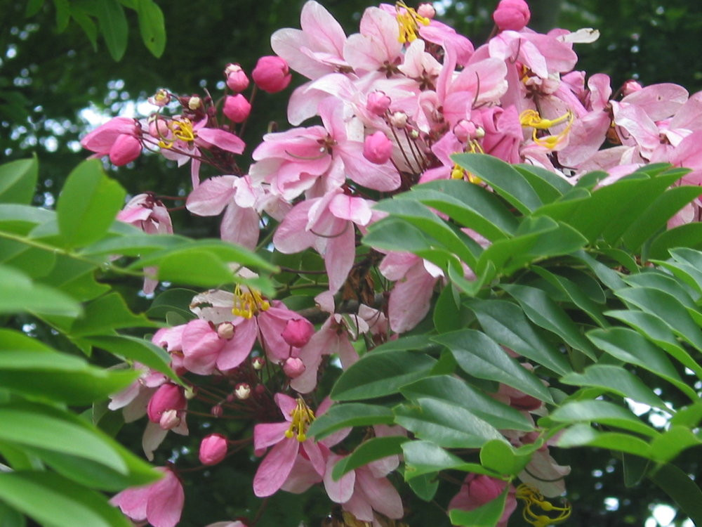 Cassia bakeriana.JPG