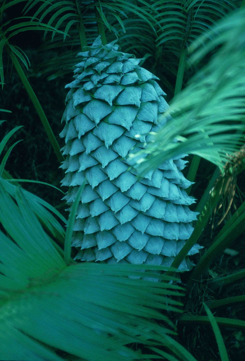 Dioon spinulosum.jpg