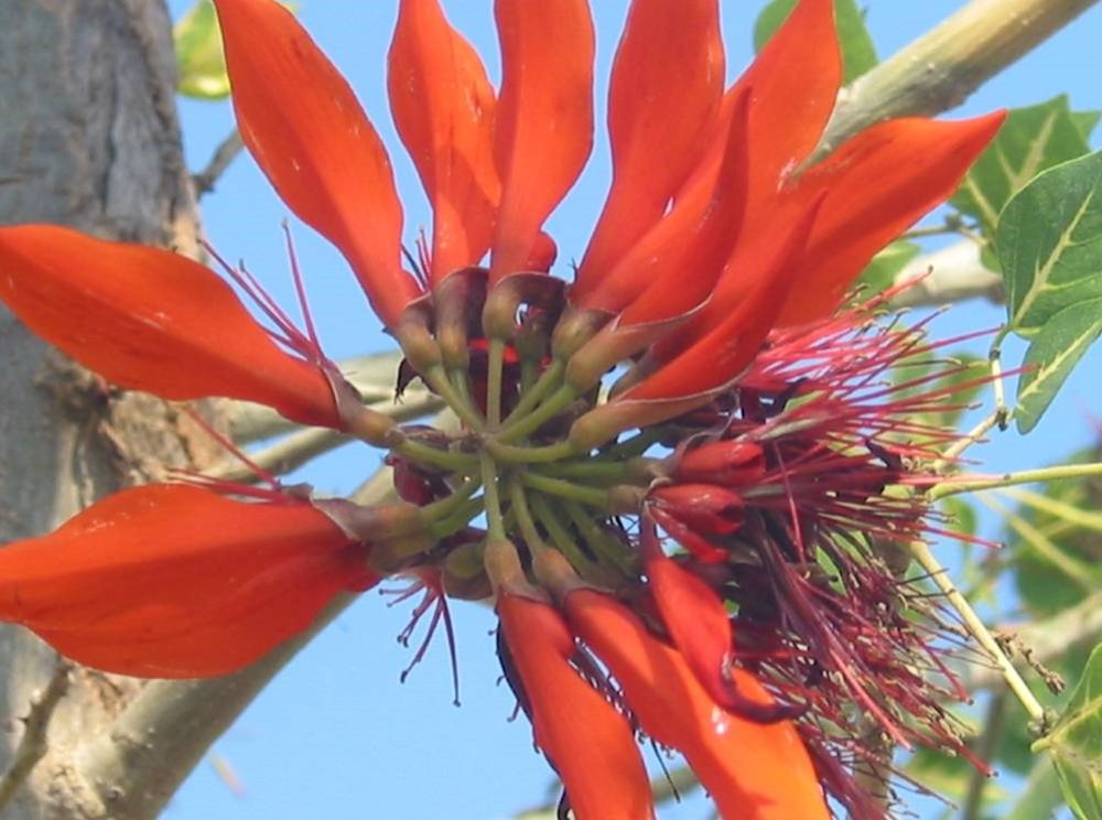 Erythrina - Coral tree from South China.jpg