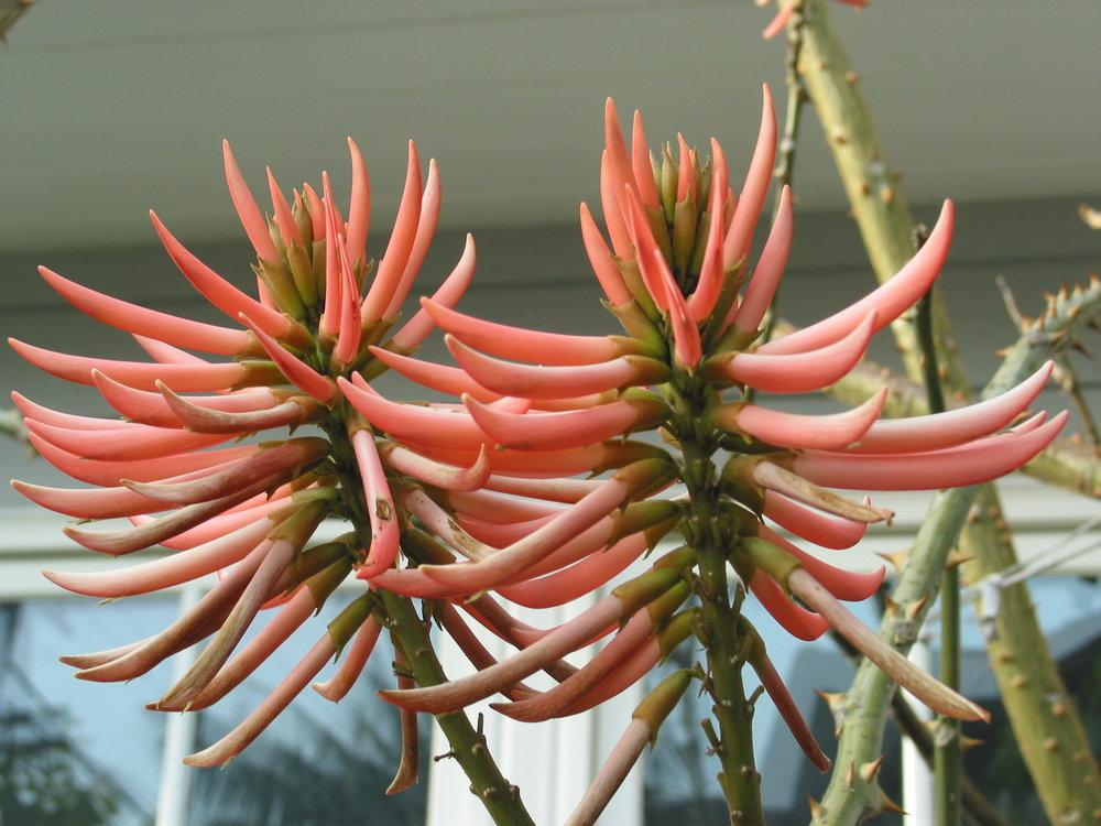 Erythrina speciosa Rosea.JPG