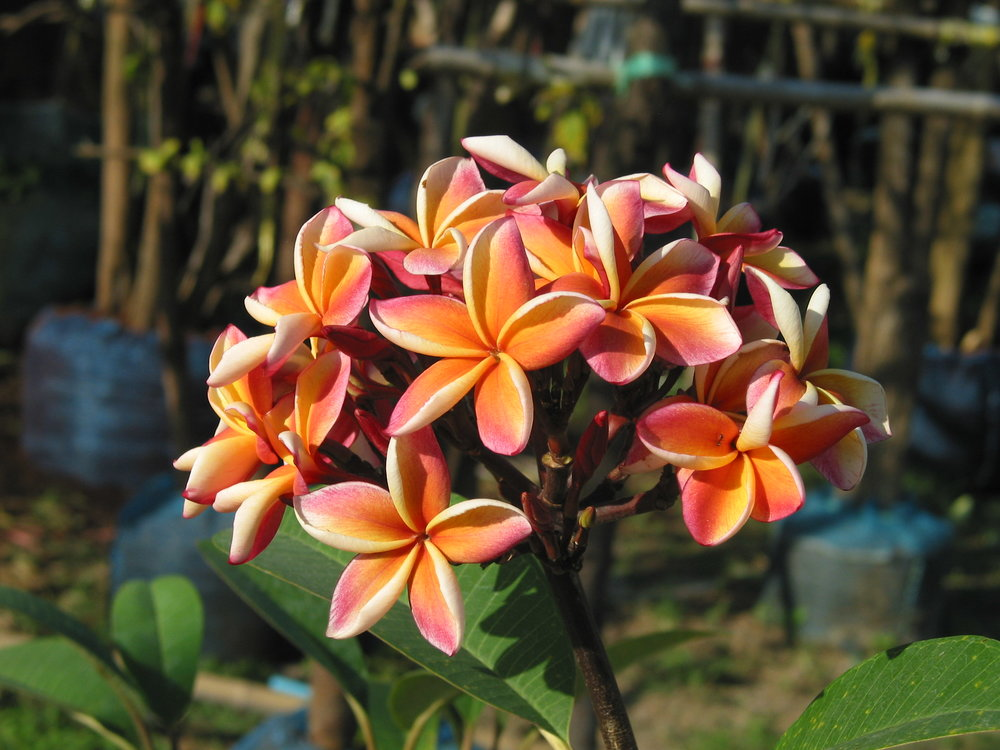 Frangipani Leelawadee Plumeria from Thailand 2.JPG