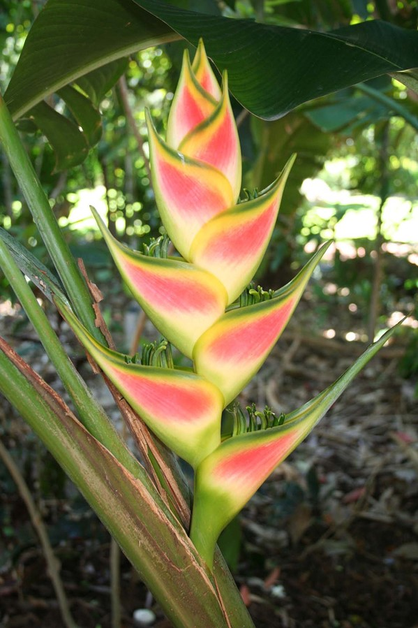 Heliconia rostrata from Hanalei in Hawaii.jpg