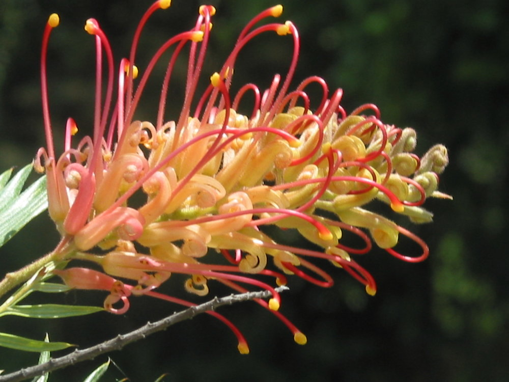 Grevillea - Spider Flower from Australia.JPG