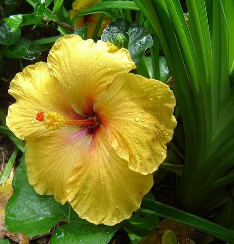 Hibiscusis.jpg