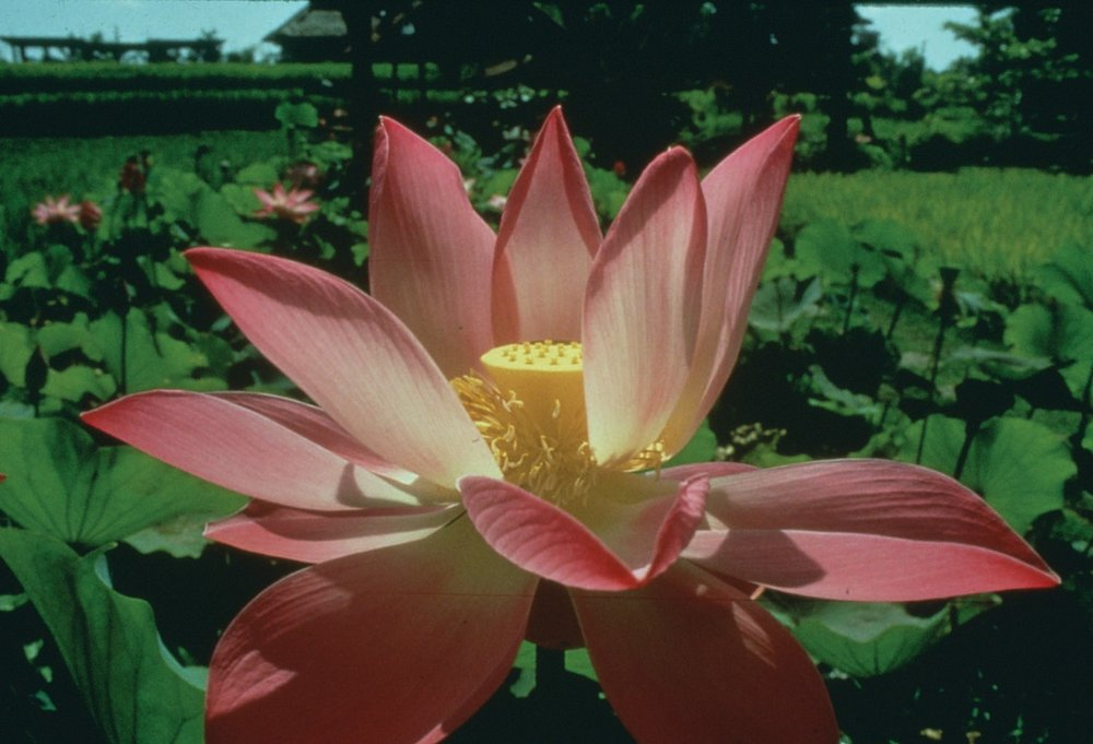 Lotus from Bali.jpg