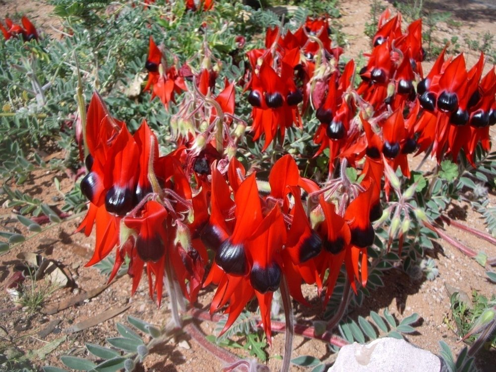 Swainsona formosa from Australia.jpg