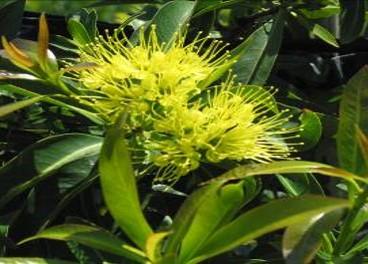 Xanthostemon chrysanthus from Australia.jpg