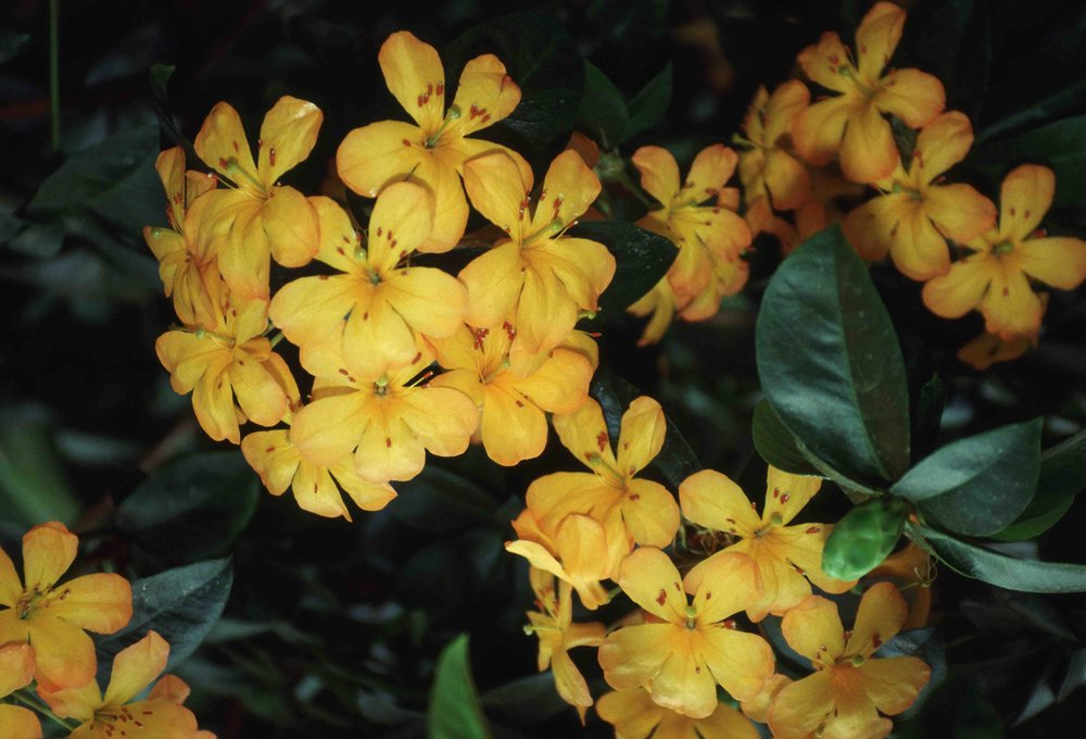 Virey_rhododendron_Tropical_Rhododendron.jpg