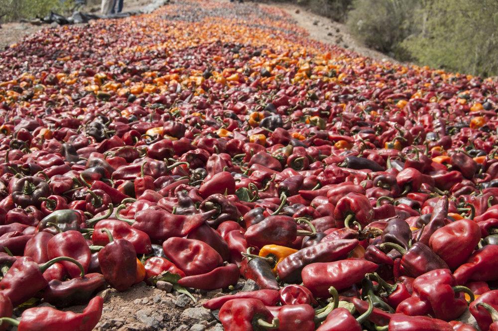 Chiles chilhuacles se secan al sol en una colina en el campo de Félix Martínez en Cuicatlán, Oaxaca, en 2014. Foto:Lucas Laursen