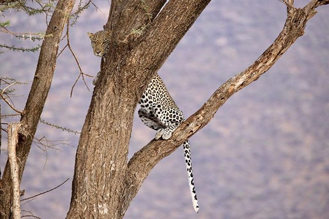 The leopards have been amazingly photogenic this year ... love Samburu Kenya #windsongtravel #travel #travelpics #twigatours #iloveafrica #