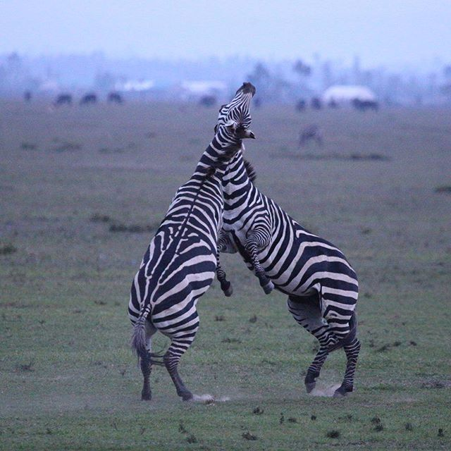 It's amazing what Kenya can surprise you with ... our tour this year has been simply amazing and we haven't hit the migration yet !! #windsongtravel #iloveafrica #ilovekenya #twigatours #travelpics