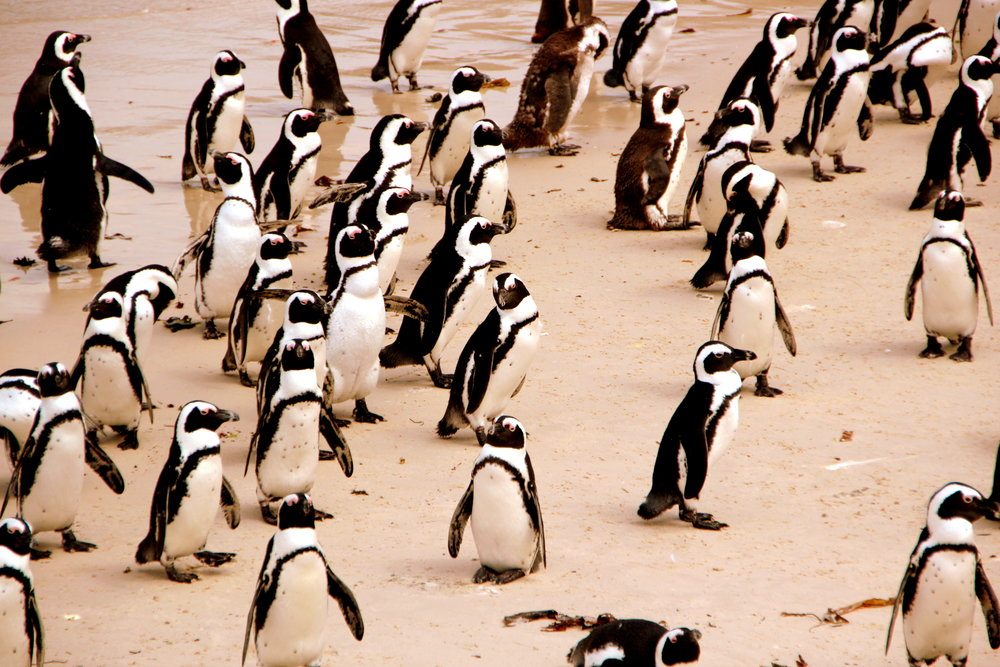 Penguin Colony - Boulders Beach