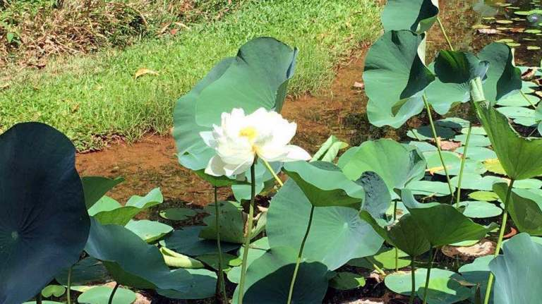 Lotus Pond on the property