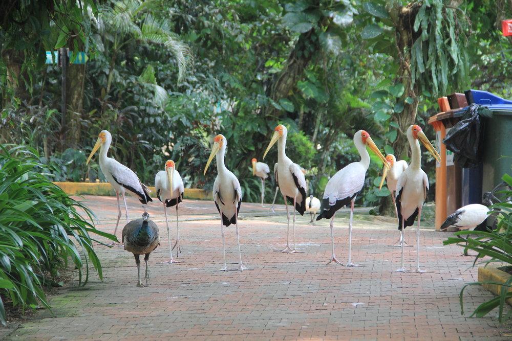 Birds on pavement