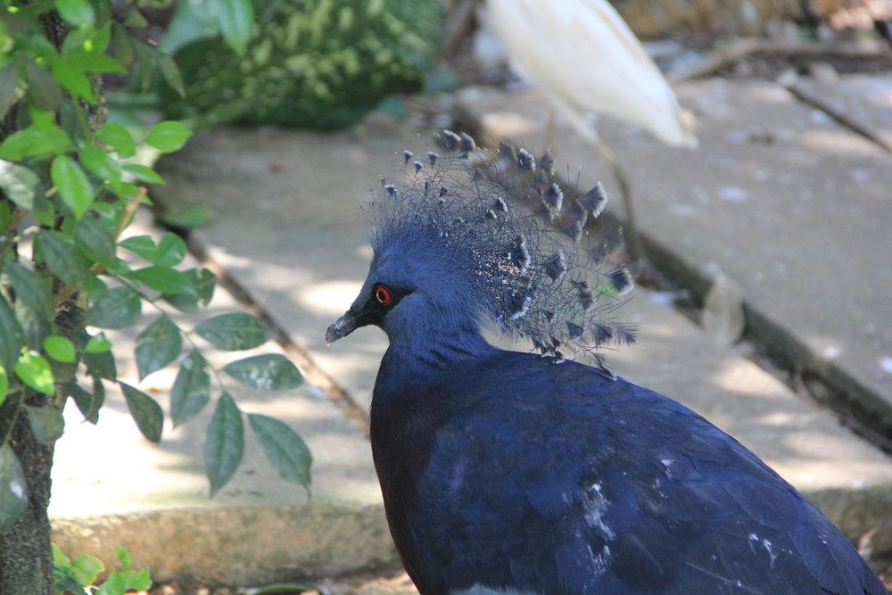 Western & Victorian Crowned-Pigeon