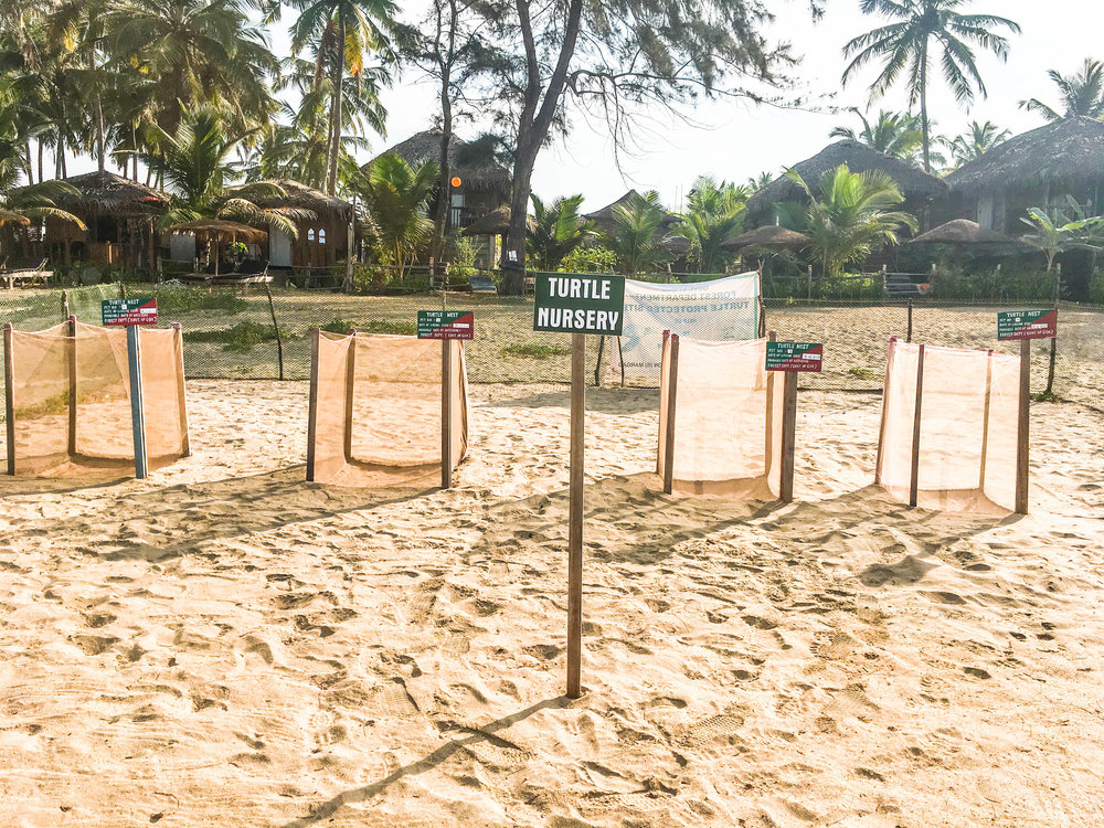 Turtle Nesting at Agonda Beach