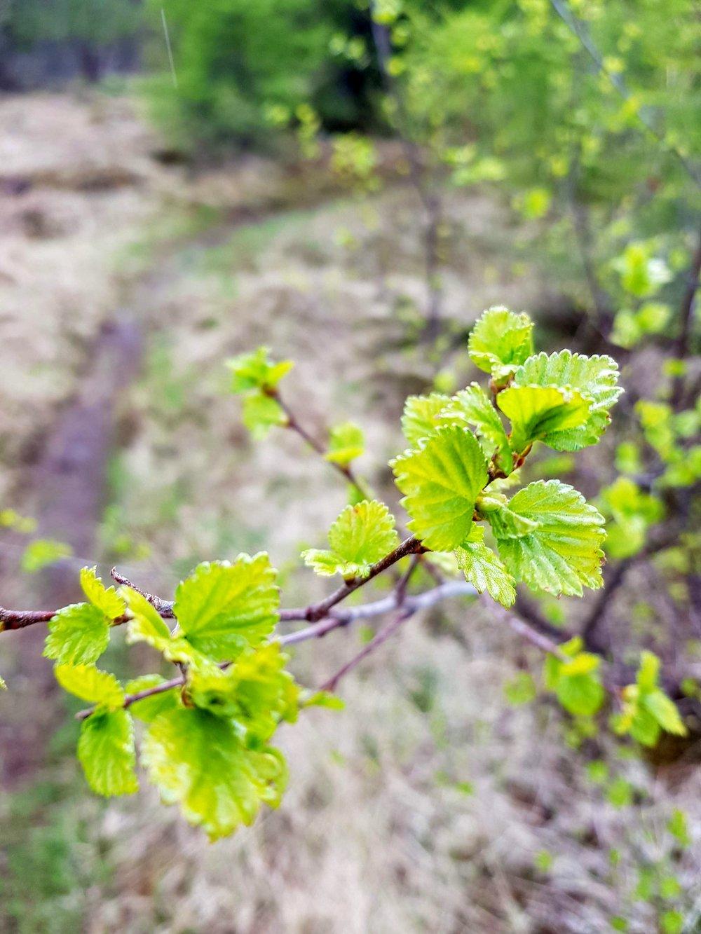 The birch starting to bud