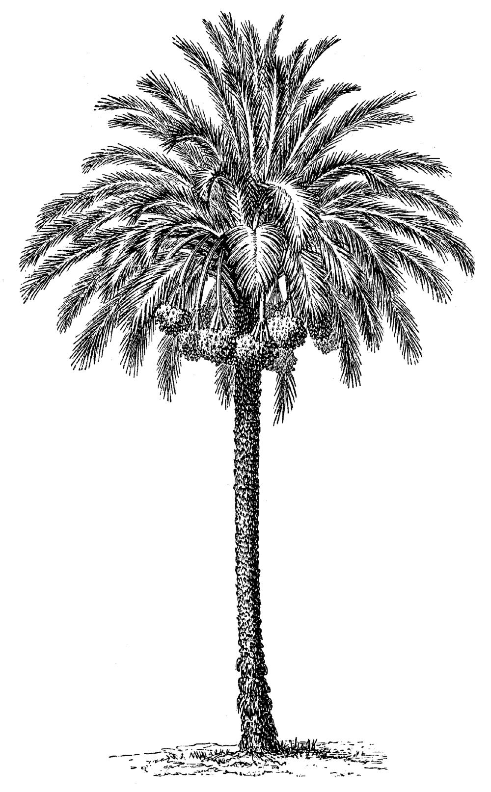 Palm364