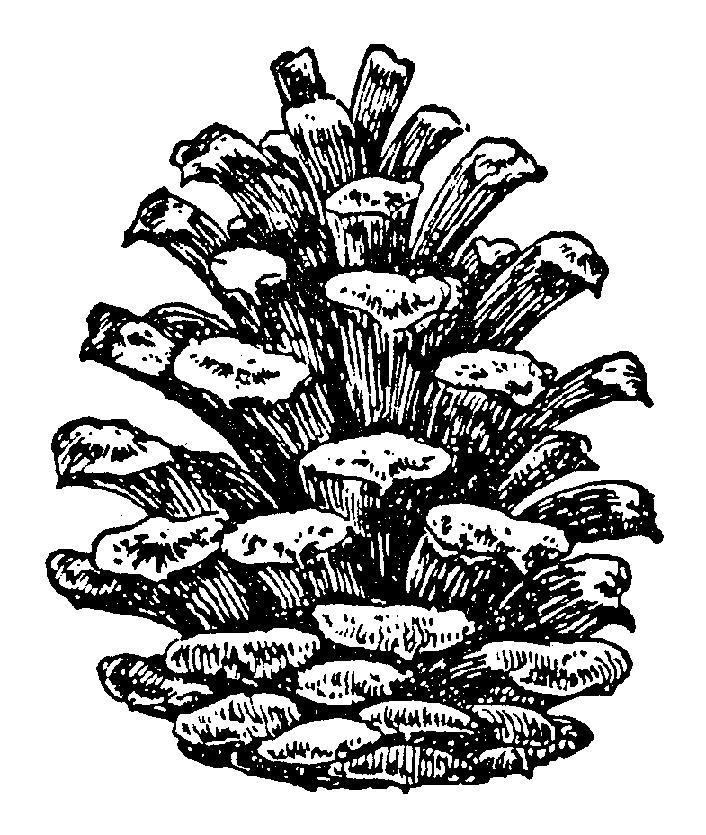 Pine cone 116