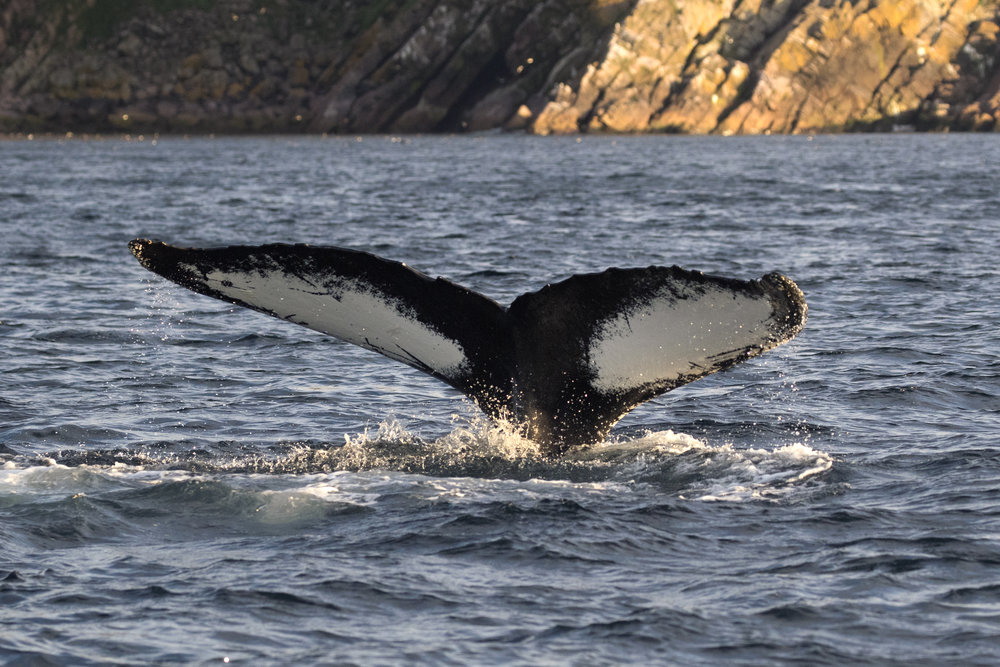 Humpback Whale - Across the Blue Planet