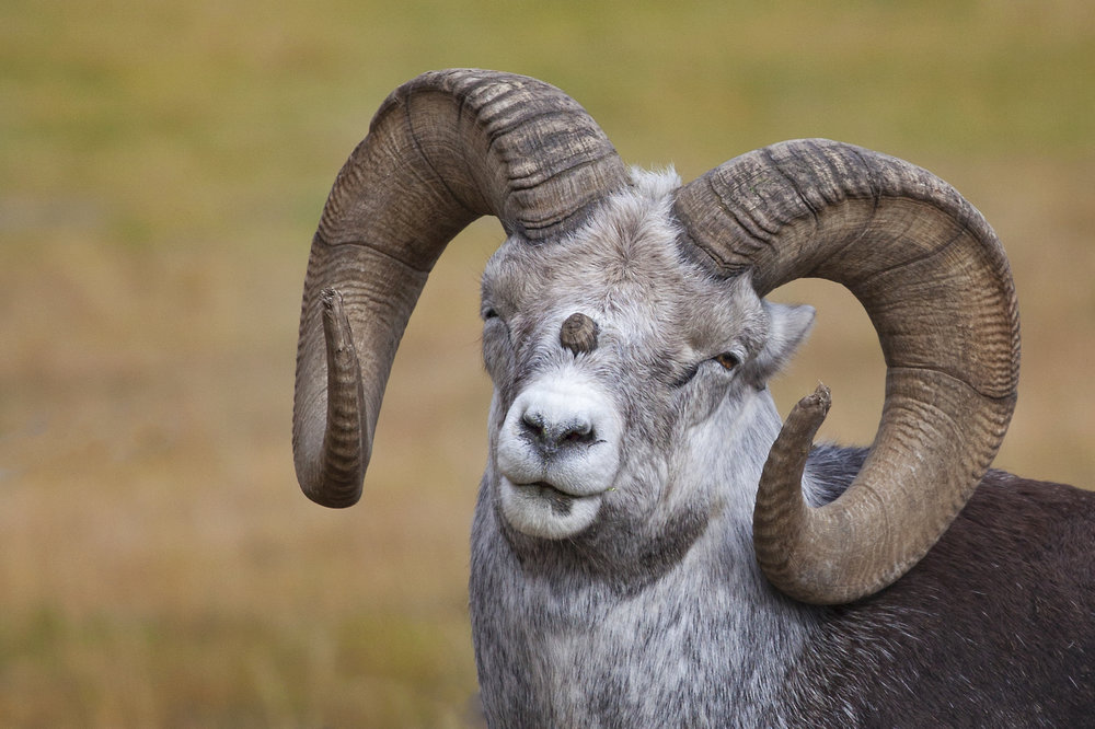 Big Horn Sheep - Across the Blue Planet