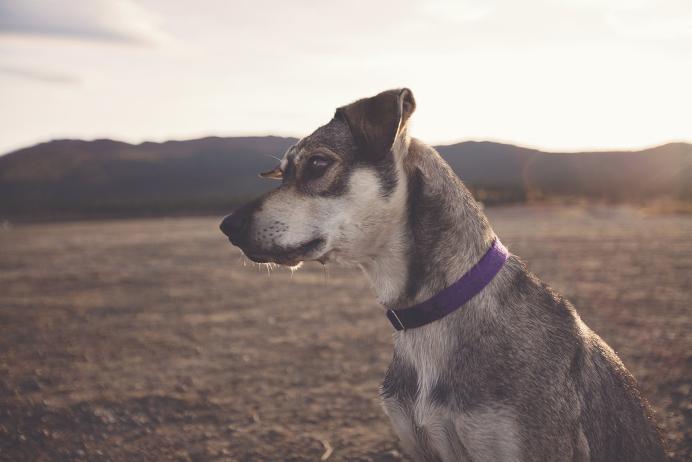 Sled dog in Yukon - Across the Blue Planet