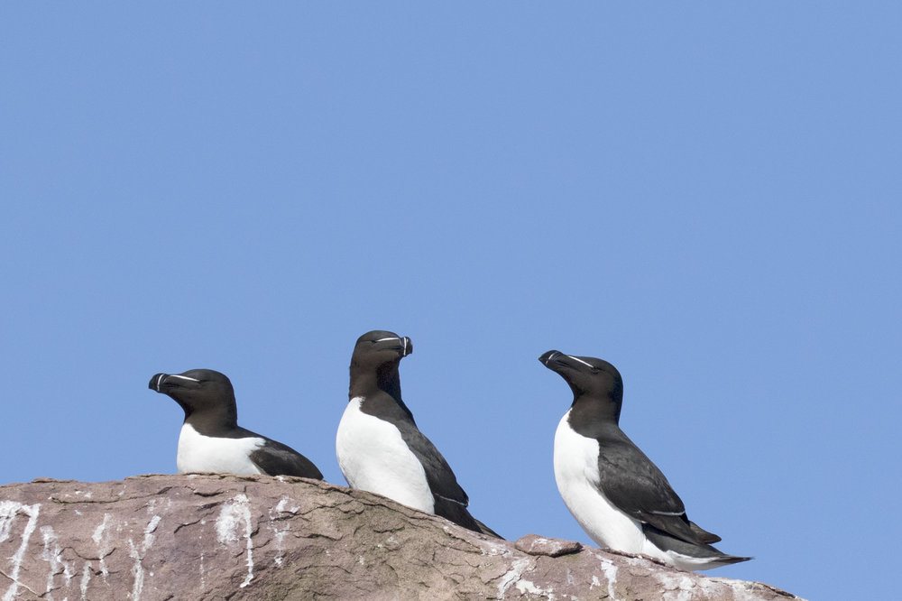Razorbills - Across the Blue Planet