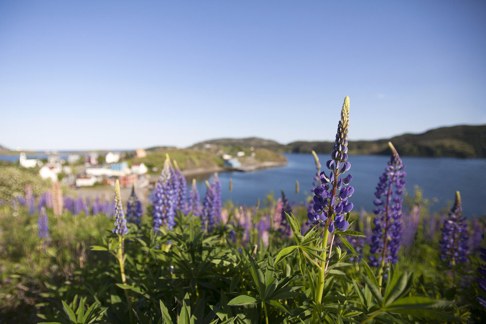 Lupins in Trinity - Across the Blue Planet