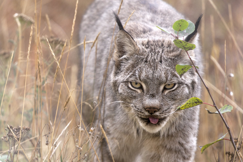 Canadian Lynx - Across the Blue Planet