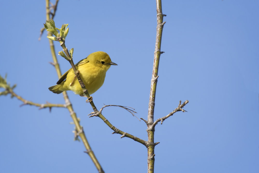 Yellow Warbler in Point Pelee Provincial Park