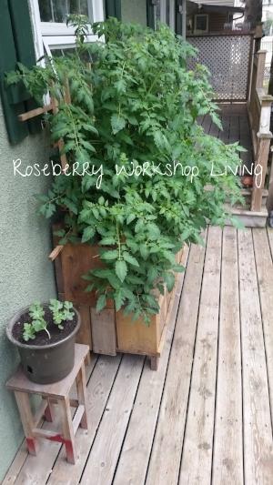 Summer 2016 tomato planter.