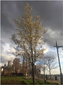 A tree I saw along West River, NYC