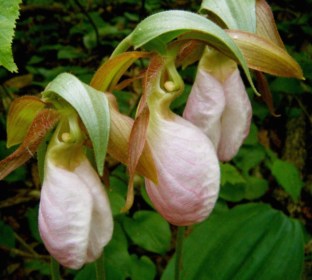 Things You May See During the trip you are likely to see many amazing things including lady slippers (pictured above), trillium, fiddlehead ferns, lush moss, Labrador tea, wild blueberries, wild apple trees, ospreys, moose, beavers, bald eagles, otters, loons, deer, chipmunks, drift wood, 19th century logging artifacts, and so much more.