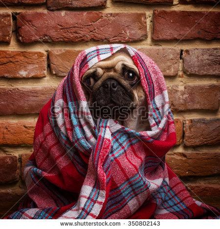 stock-photo-cute-pug-wrapped-in-a-blanket-350802143.jpg
