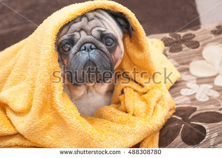 stock-photo-sad-pug-dog-wrapped-in-a-terry-yellow-blanket-picture-for-printed-materials-and-backgrounds-488308780.jpg
