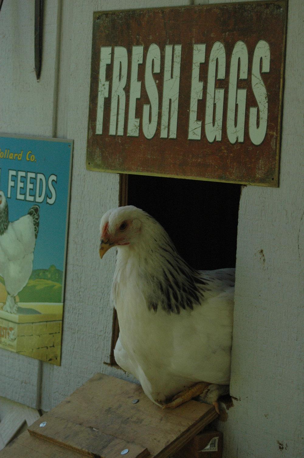 Chickens 6-20-13 (17).JPG