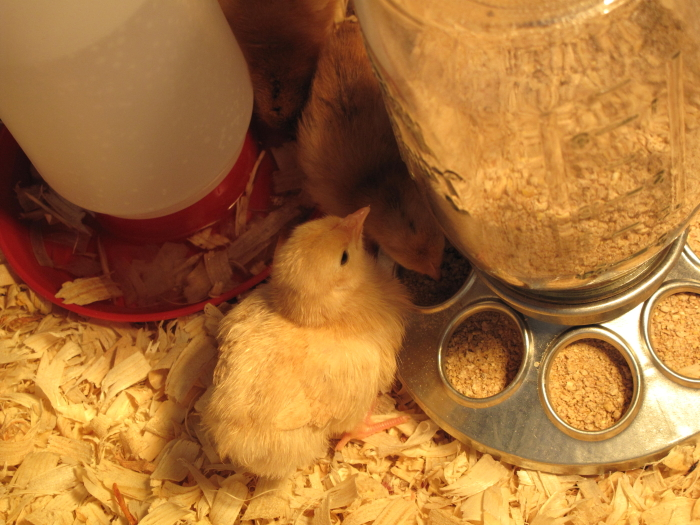 Chicks at 5 days old 2 2012.jpg