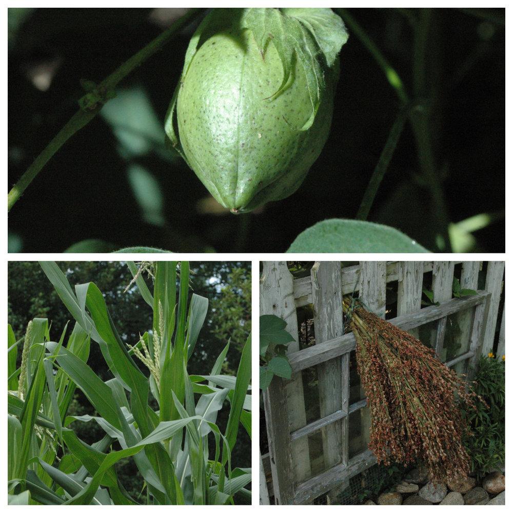 cotton popcorn broom corn collage-1.jpg