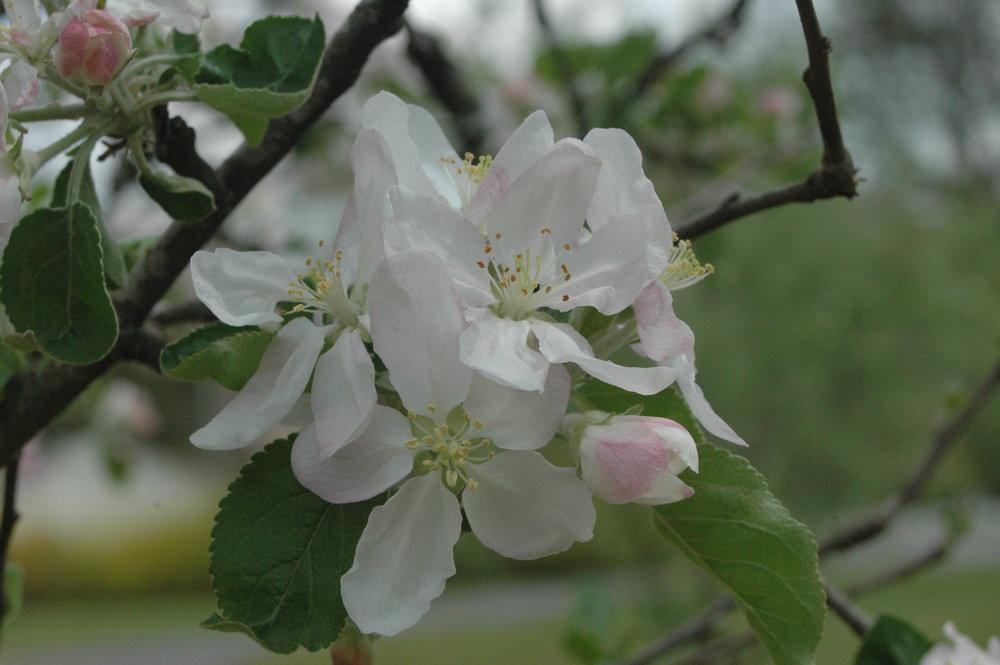 Apple Blossoms 1.JPG